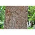 Grevillea Robusta Tree