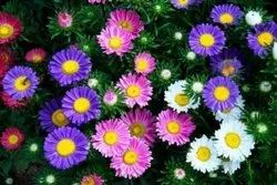 Asters Flower