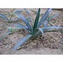 Agave Sisalana Plant