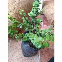 Well Watered 1.5 feet Crassula Plant