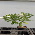 Apocynaceae Full Sun Exposure Adenium Hybrid Plant, For Decoration