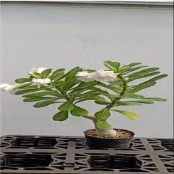 Adenium Hybrid Plant
