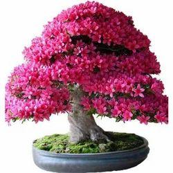 Outdoor Bonsai Plant