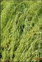 Green Ajeet-201 Mustard