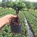 Full Sun Exposure Green 1000 Gm Ficus Ginseng, For Decoration