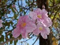 塔博亚罗西植物