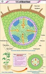 TS Of Dicot Root  For Botany Chart