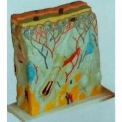 Imported Plastic Skin Model Enlarged, For Medical, School & College