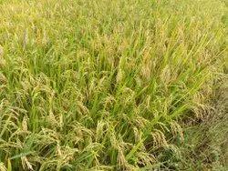 Bajra Hybrid Row Crops