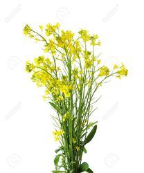 Potassium Polyacrylate for Rapeseed Plant