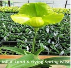 Jollix Land X Yiying Spring Mist Orchids
