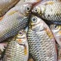 Probiotics for Tilapia Fish Farming