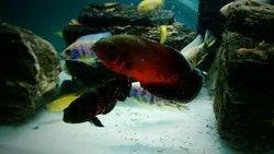 Cichlid Red Oscar Fish, Size: 3