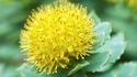 Rhodiola Extract
