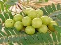 Amla Dry Powder (Hog Plums Dry powder)