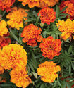 10% Zeaxanthin Marigold Flower Extract