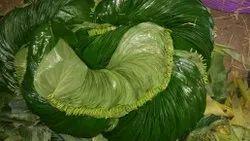 Pali Paan Leaves
