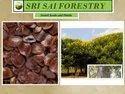 Cassia Siamia Seeds