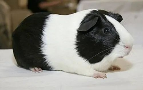 Male And Female Guinea Pigs For Sale