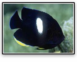 Tibicen AngelFish