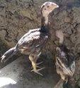 Aseel Chicks