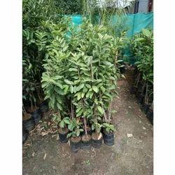 Common Guava Plant
