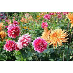 Dahlia Flower Plants