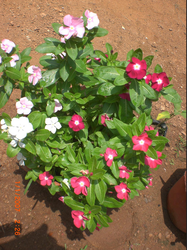 Catharanthus  Vinca Rosea In Plastic Pot
