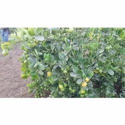Seedless Lemon Plants