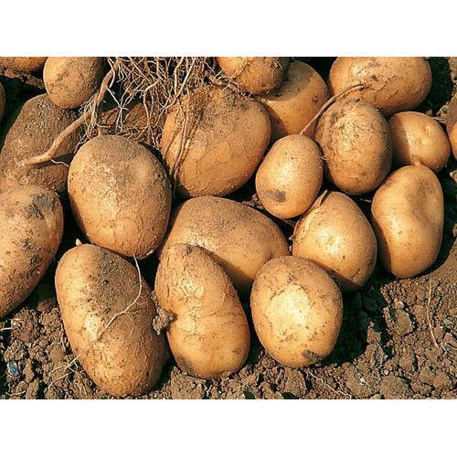 Manufacturer of Organic Potatoes & Organic Red Potatoes by