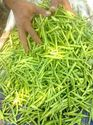 Sonam Research Cluster Beans Seed