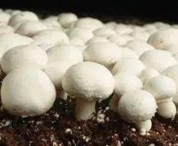 Maharashtra Organic Button Mushroom, Packaging Type: Ice Pack, Packaging Size: 200 Gm