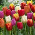 Tulip Bulbs Plant