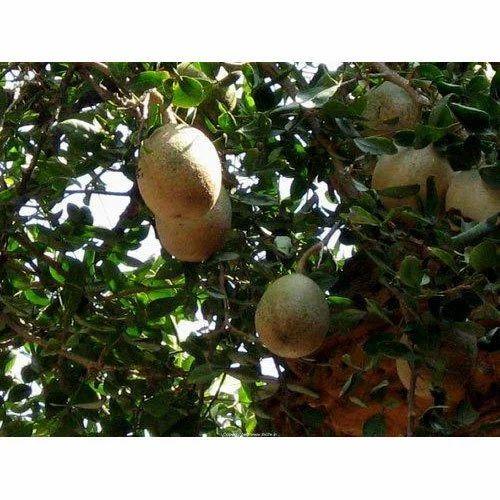 Beel Tree