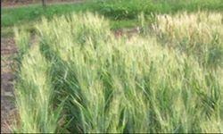 Wheat Sanjivani 34