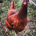 Organic Country Chicken Grower Feed
