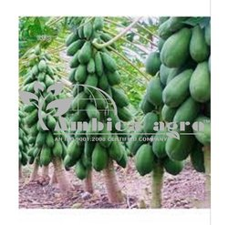 ICE BERRY PAPAYA PLANTS