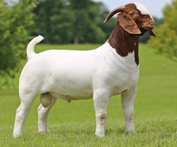 Boer Goat - Wholesale Price & Mandi Rate for African Boeras