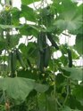 Hybrid Green Enza Zaden Mini Cucumber Seeds, For Agriculture, Packaging Type: Packet