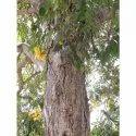 Cassia Siamia Tree