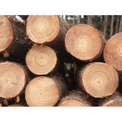 New Zealand Pine Wood Log