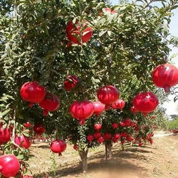 Pomegranate Fruit Plant
