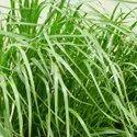 Rye Grass SUNGRAZER T