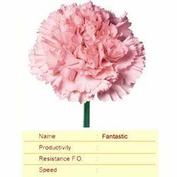 Cut Flower Caryophyllaceae Fantastic Carnation Plant, Botanical Name: Dianthus