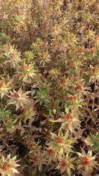 Krushna Traders Natural Safflower Oil Seeds, Packaging Size: 50kg, Dry