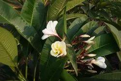 Dwarf Plumeria Plant
