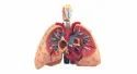Human Lungs With Heart And Larynx,5 Parts