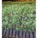 Moringa Tree Bark