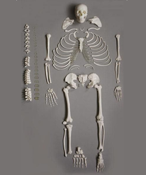 Disarticulated Bone Set Model