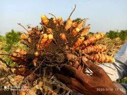 Yellow Curcuma Longa Turmeric Mother Rhizomes, Packaging Type: Tray